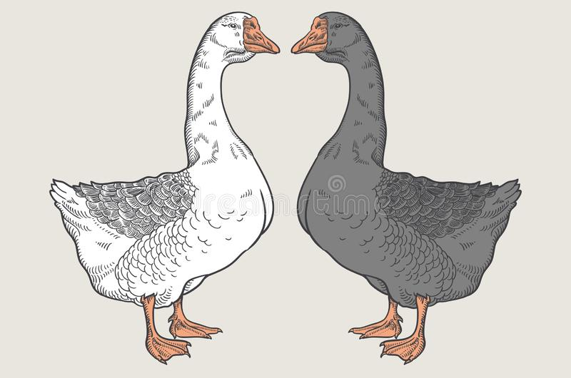 White goose, Grey goose, goose hand drawn, poultry vector illustration