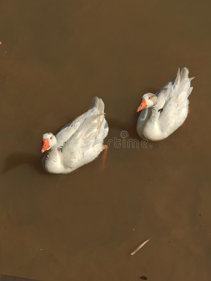 White goose at the lake. Two white goose swimming in a dark color water lake during a afternoon at Itu small city in Brazil stock image