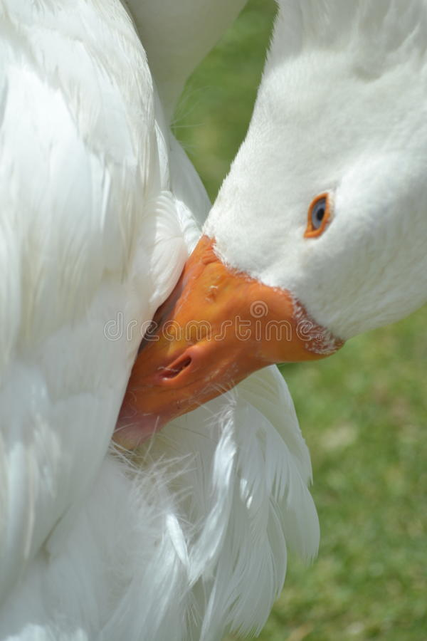 White Goose stock images
