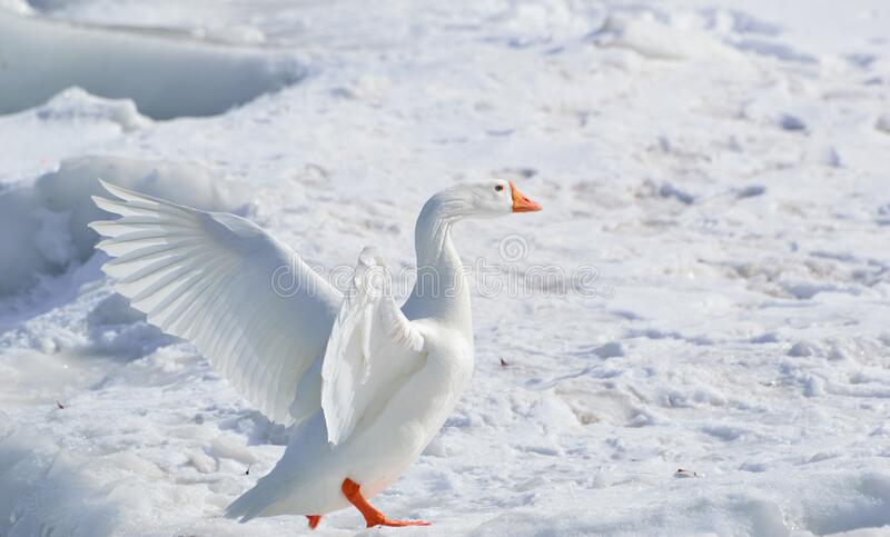 White Goose on Snow Covered Ground at Daytime stock photography