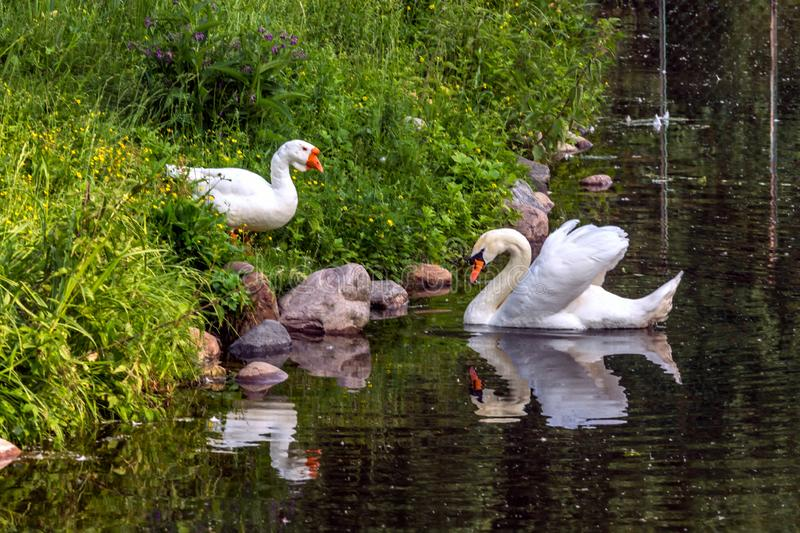 A white goose standing on the bank and white swan floating on the water. stock photos