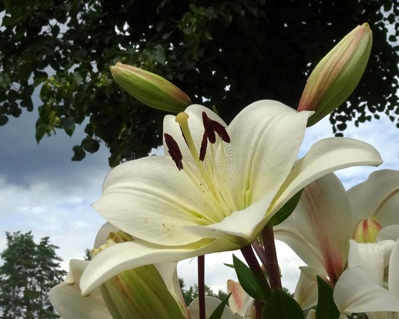 White gorgeous Lily. A symbol of purity, a flower with a rich history. White gorgeous Lily. A flower with a rich history.Historical references to this flower are royalty free stock photo