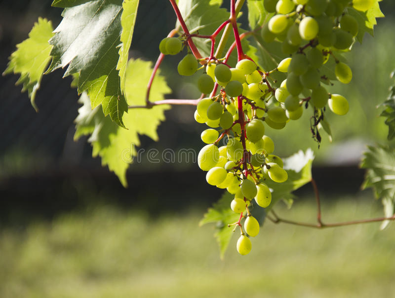 Download White grape stock photo. Image of closeup, food, grow - 25778624