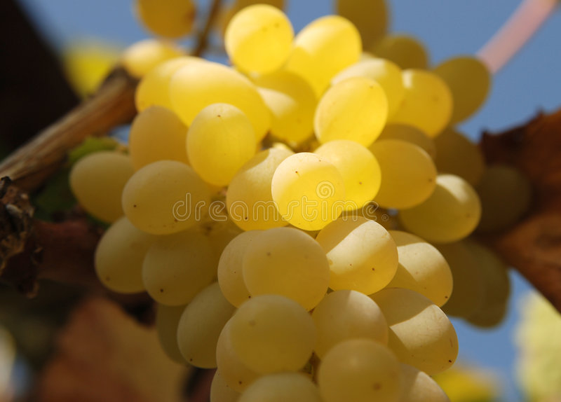 Download White grape stock image. Image of autumn, vale, fruit - 6125067