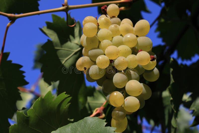 White Grape royalty free stock photo