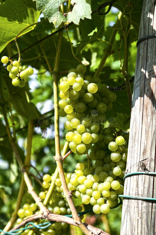 Download White grapes stock photo. Image of organic, swiss, harvest - 22937438