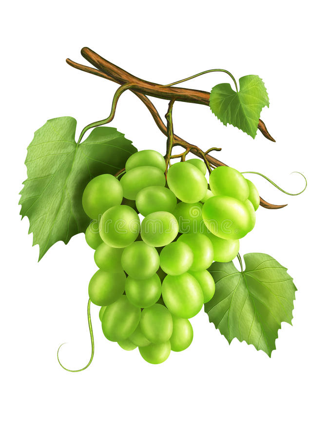 Download White Grapes Royalty Free Stock Photography - Image: 26206457