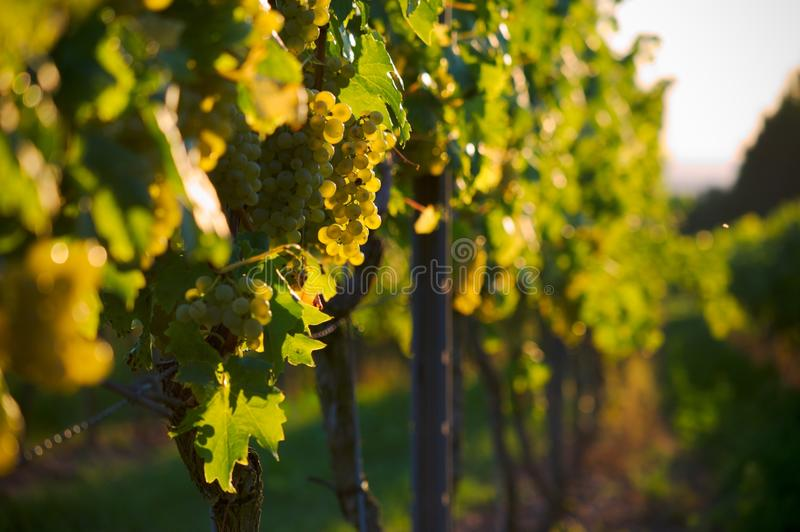 Download White Grapes Royalty Free Stock Photos - Image: 26598548