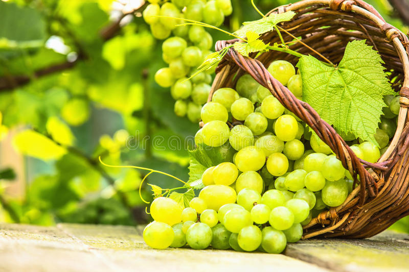 White grapes in basket stock images