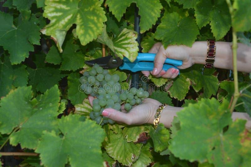 White grapes royalty free stock image