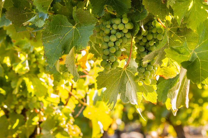 White grapes bunches ripening on vine in vineyard royalty free stock images