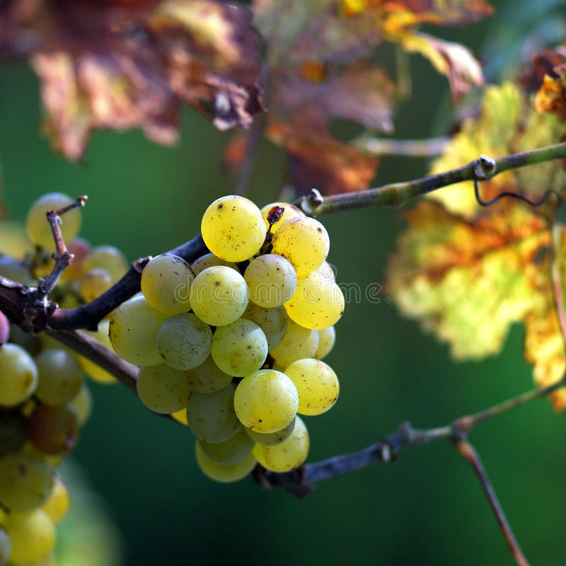 White grapes in the vineyard royalty free stock image