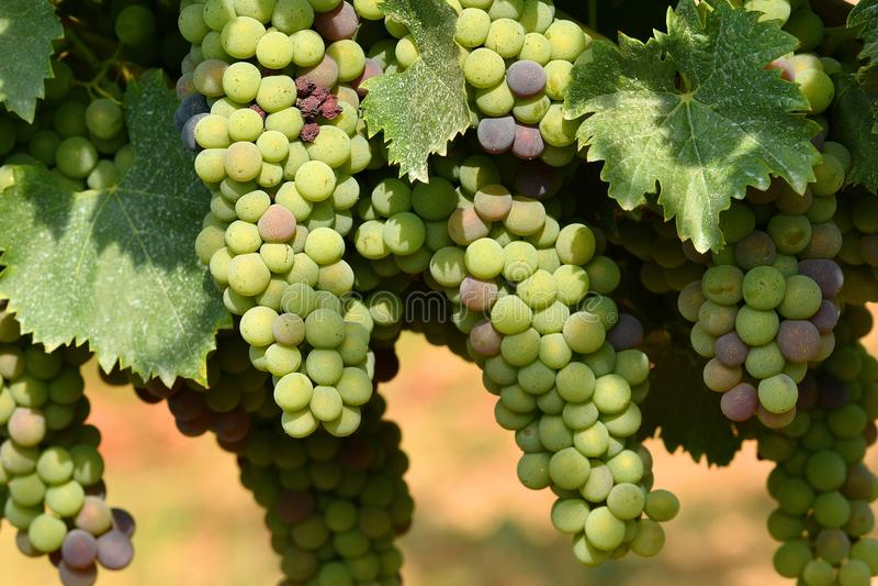 White grapes on vineyards in Chianti region. Tuscany royalty free stock photo