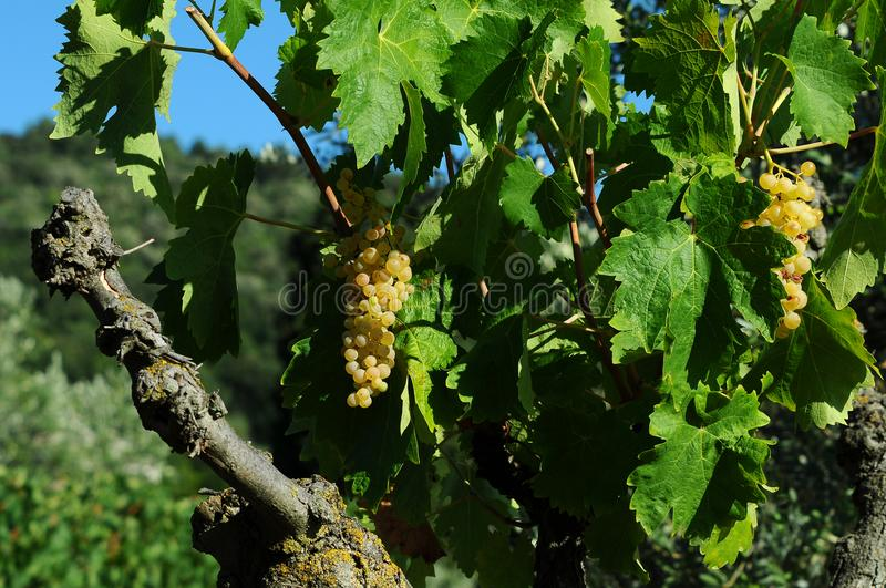White grapes on vineyards in Chianti region. Tuscany stock images