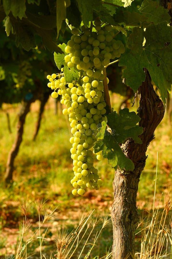 White grapes on vineyards in Chianti region. Tuscany stock photos