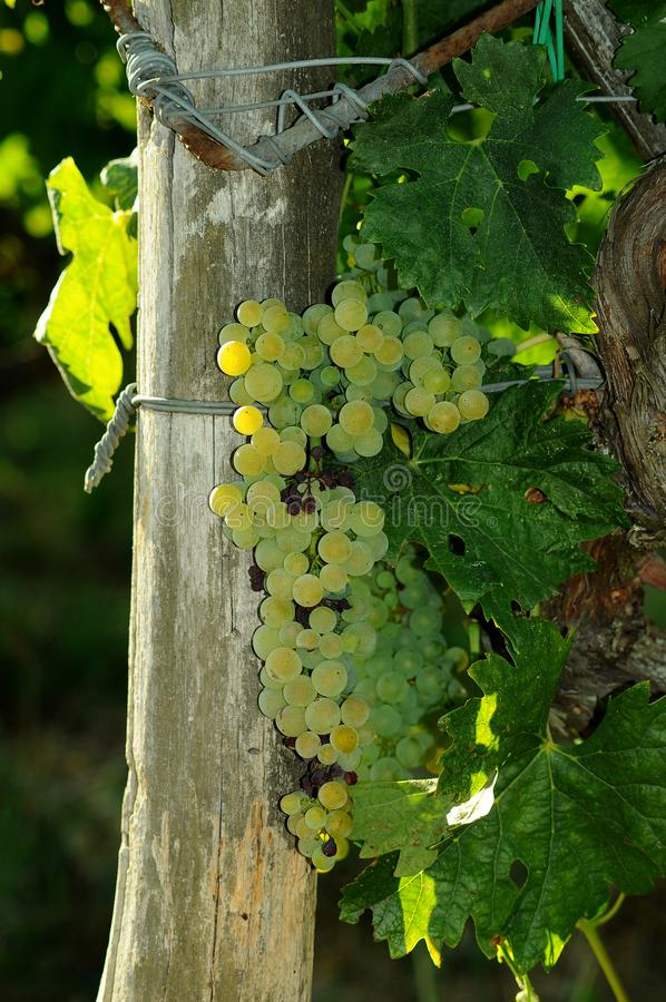 White grapes on vineyards in Chianti region. Tuscany stock image