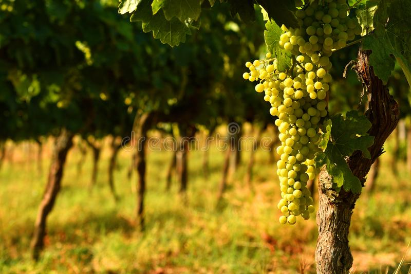 White grapes on vineyards in Chianti region. Tuscany stock photography