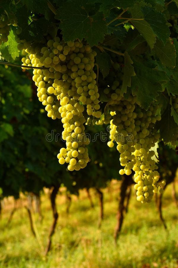 White grapes on vineyards in Chianti region. Tuscany royalty free stock photography