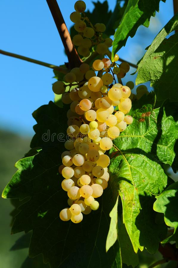 White grapes on vineyards in Chianti region. Tuscany royalty free stock image