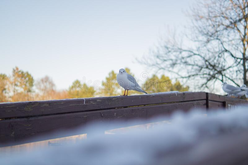 White And Gray Bird On Brown Wooden Handrail Free Public Domain Cc0 Image