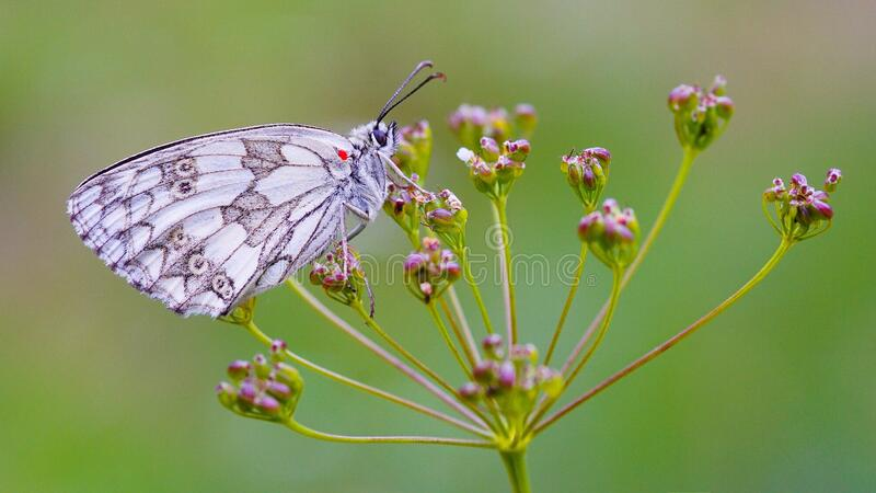 White and Gray Butterfly on Red Flower during Daytime royalty free stock photo