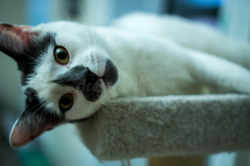 White and Gray Cat Laying Down on a Cat Tree royalty free stock image
