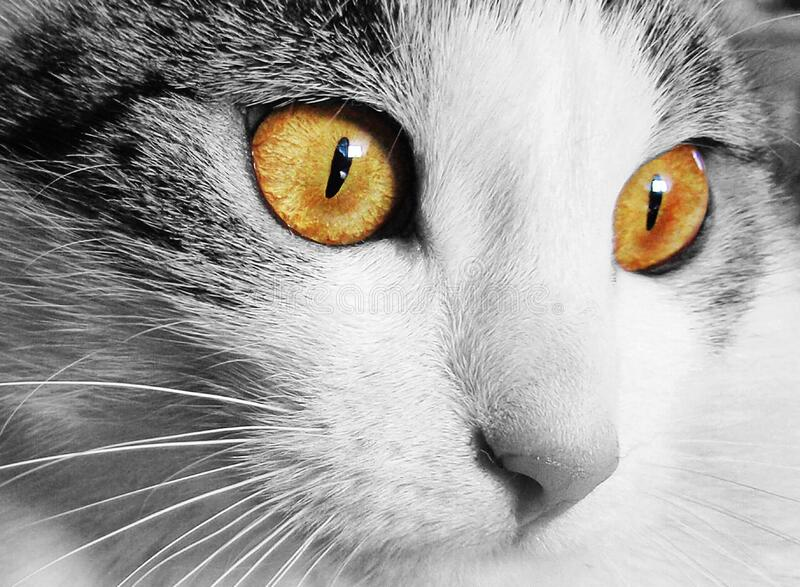 White And Gray Cat With Yellow Eyes In Selective Color Photography Free Public Domain Cc0 Image