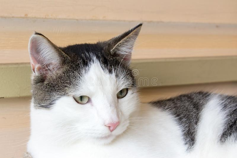 White and gray domestic cat. White and gray, smooth-haired domestic cat, portrait, animal, pet, relaxing, beautiful, beauteously, nice, sweet, household, space stock photography