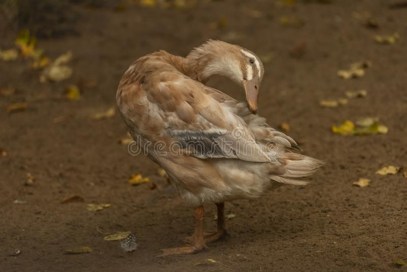 White and gray goose near small pond in rainy autumn day stock photography