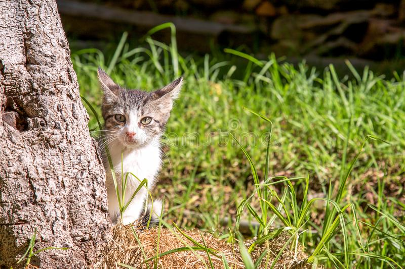 White and gray little cat behind a tree stock photography