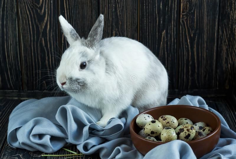 White-gray rabbit sitting near quail eggs on a dark wooden background. Easter day royalty free stock photos