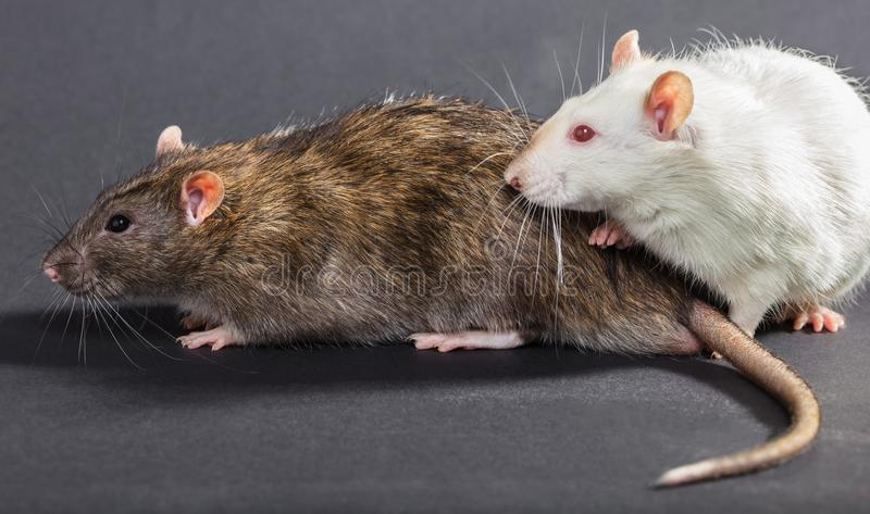 White and gray rats. On a black background royalty free stock photo