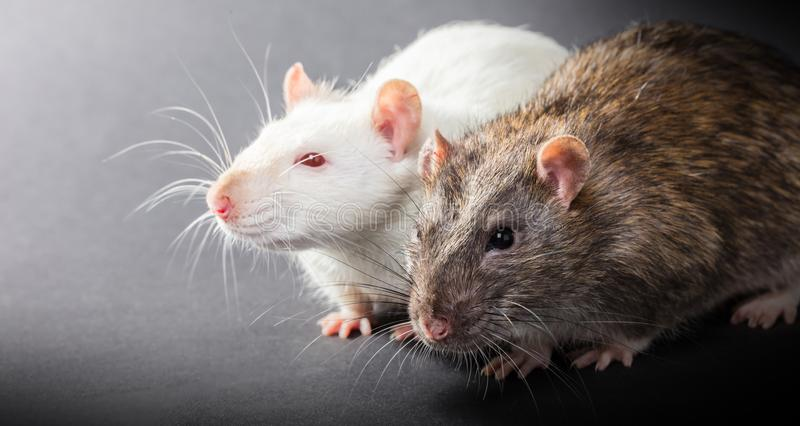 White and gray rats. On a black background royalty free stock images