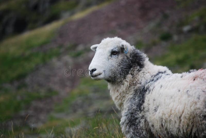 White And Gray Sheep Free Public Domain Cc0 Image
