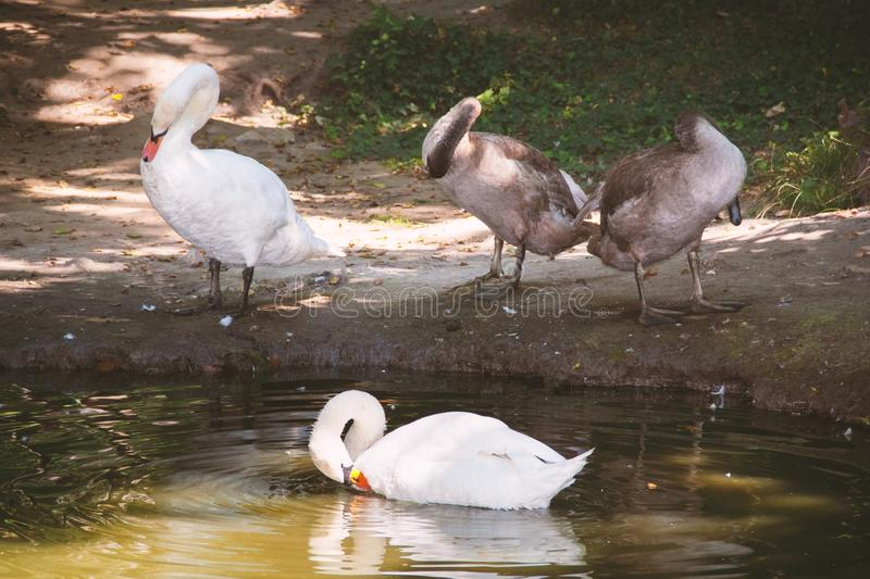 White and gray swans on the pond. A family of swans pecking feathers with the beak on the lake