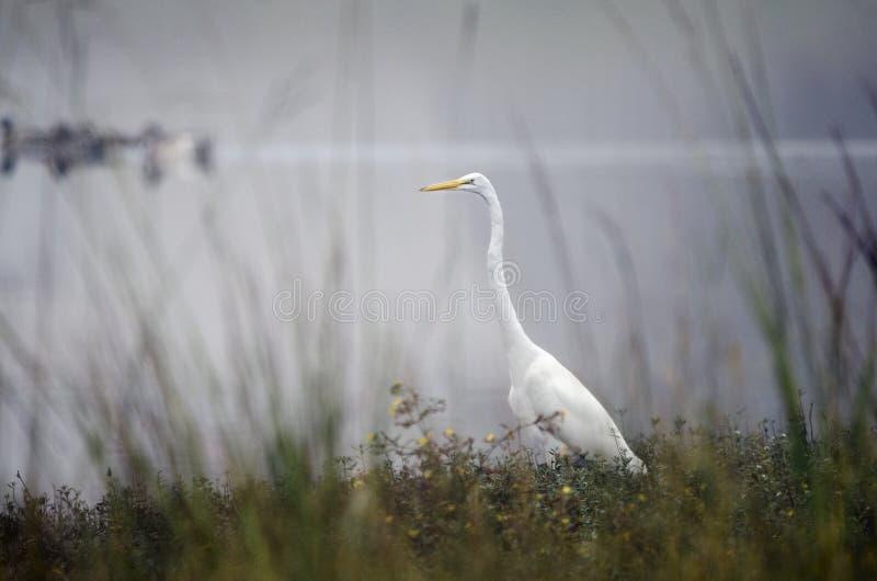 White Great Egret bird on foggy pond, Georgia, USA. White Great Egret, Ardea alba, standing on bank of foggy pond fishing. Walton County, Georgia, USA. Large stock photos