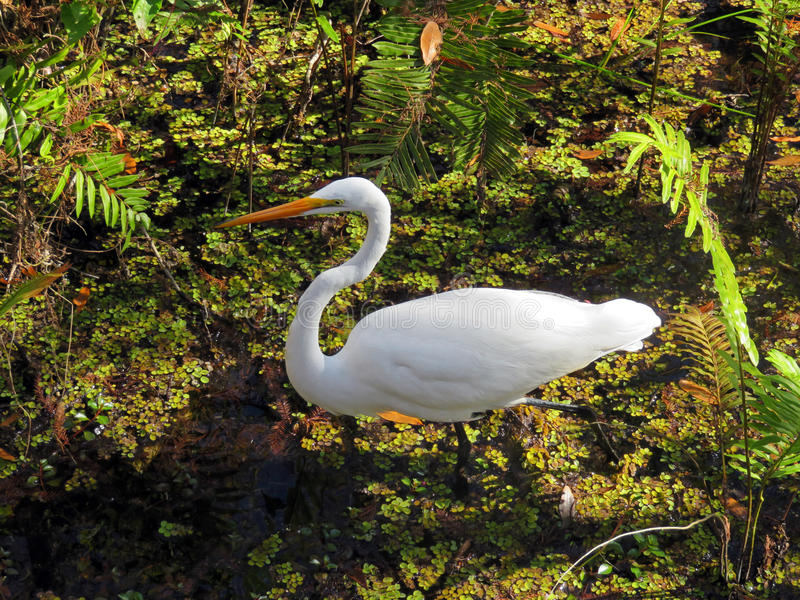 White Great Egret bird royalty free stock photo