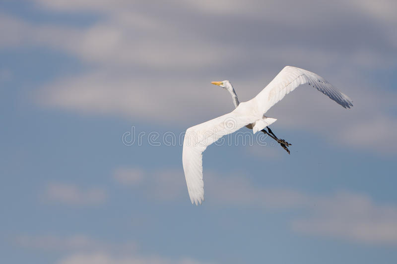 White Great Egret in flight. A white Great Egret in flight in the Everglades swamp in Florida royalty free stock image