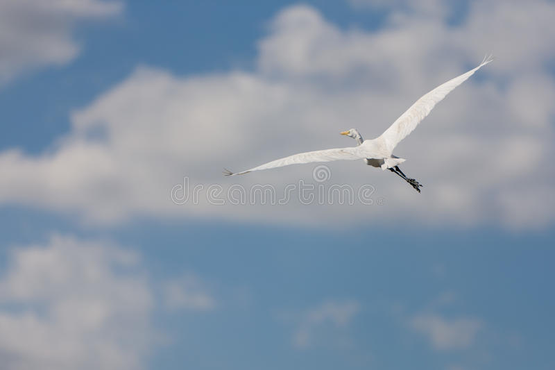 White Great Egret in flight. A white Great Egret in flight in the Everglades swamp in Florida royalty free stock photo