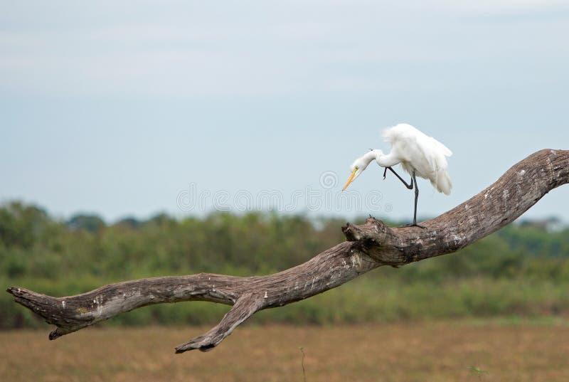 White Greater Egret balancing op één been op een grote boomtak royalty-vrije stock foto's