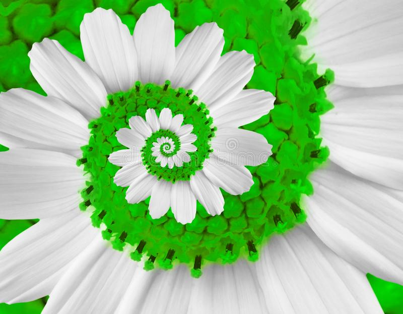 White green camomile daisy cosmos kosmeya flower spiral abstract fractal effect pattern background White flower spiral abstract stock photography