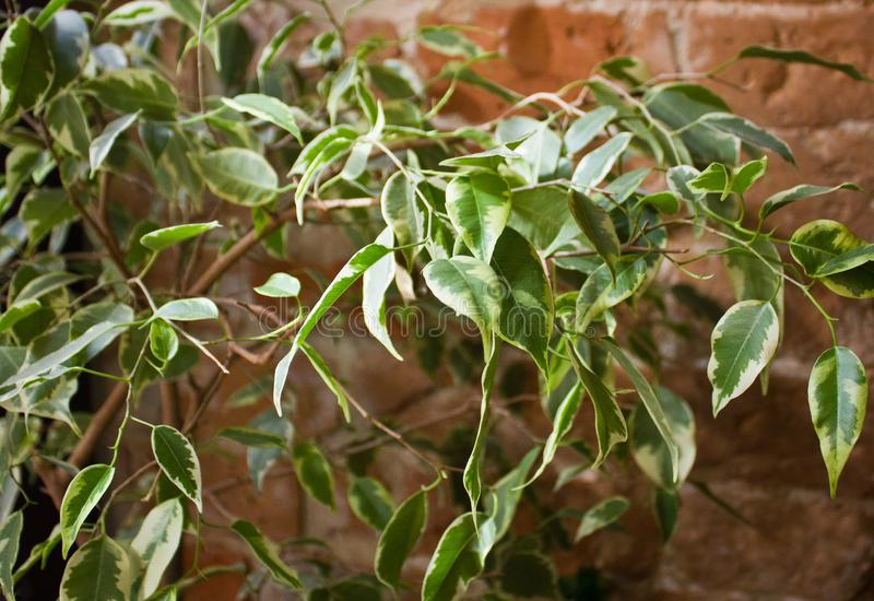 White and green ficus foliage close-up royalty free stock photo