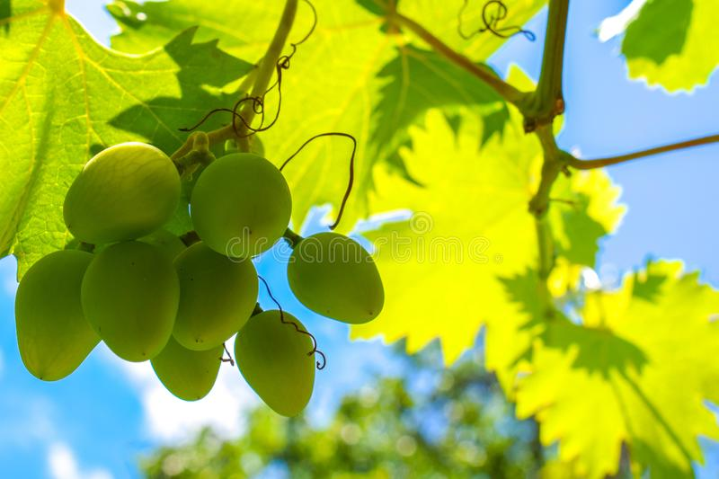 White green grapes hanging on a bush in a sunny beautiful day. Grapes against the blue sky. Beautiful grape leaves stock photos