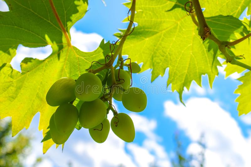 White green grapes hanging on a bush in a sunny beautiful day. Grapes against the blue sky. Beautiful grape leaves stock images