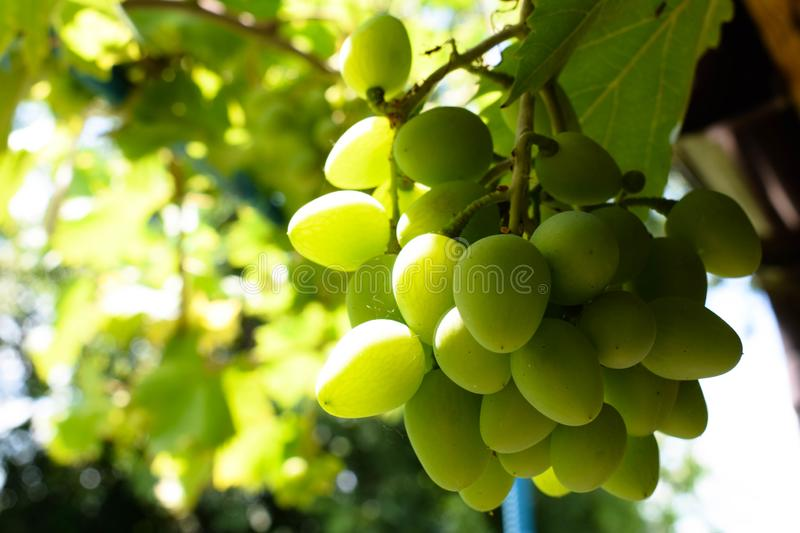 White , green grapes hanging on a bush vine in the vineyard.  stock photo