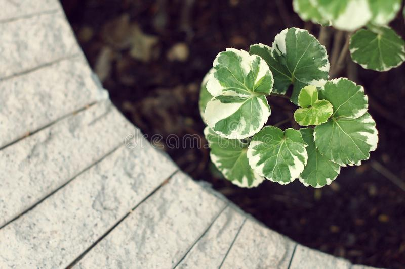 White and green leaf of Polyscias balfouriana `Marginata`. in curve cement pot. White and green leaf of Polyscias balfouriana `Marginata`. Close up of fresh royalty free stock photography