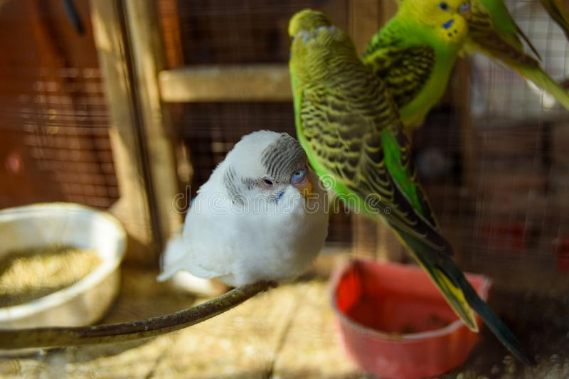 White and Green Parrots in Cage royalty free stock photos