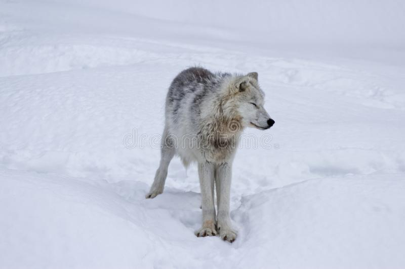 White and grey arctic wolf standing in the snow stock photos
