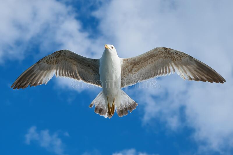 White and Grey Bird Flying Freely at Blue Cloudy Sky royalty free stock images