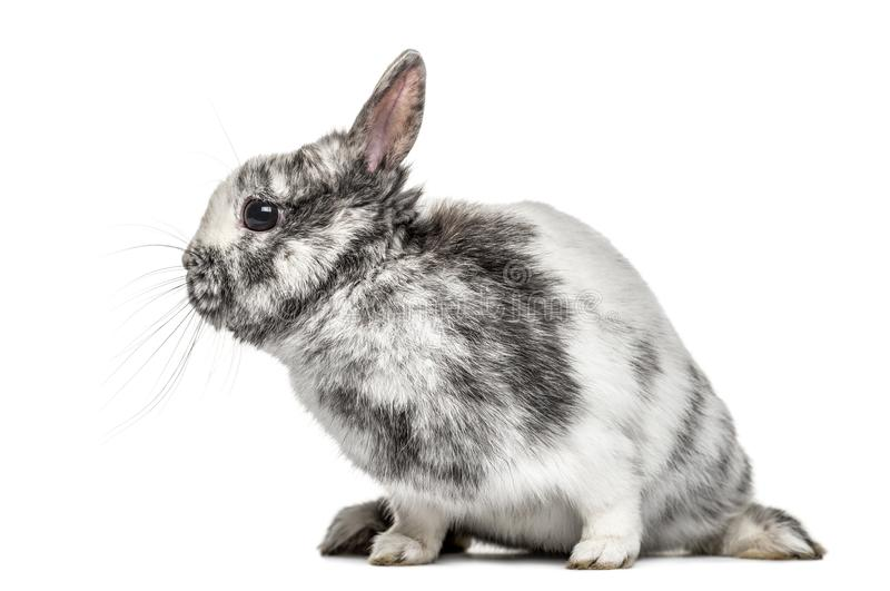 White and grey dwarf rabbit, isolated. On white royalty free stock photos
